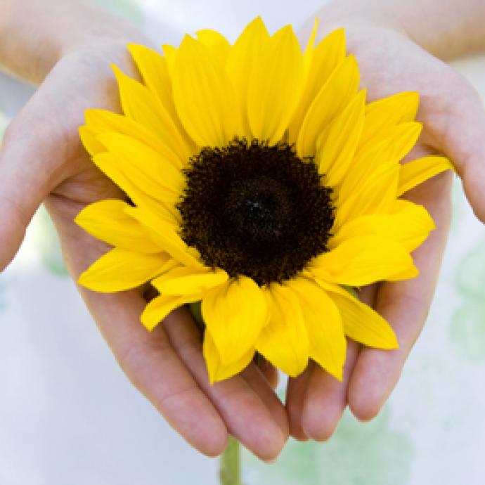 Två öppna händer håller fram en vacker gul solros. Fotografi